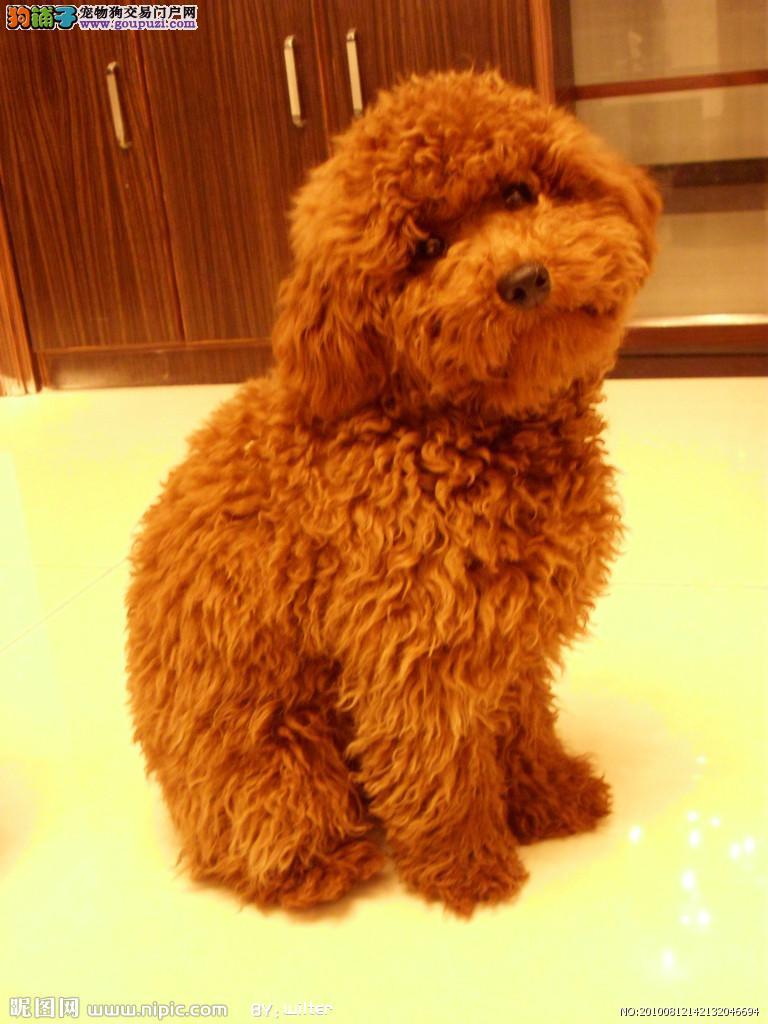 预售精品韩国血系长沙泰迪犬 可办理血统证书保真1