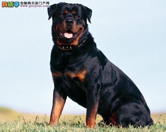 精英护卫犬罗威纳 泉州市出售罗威纳 欢迎咨询