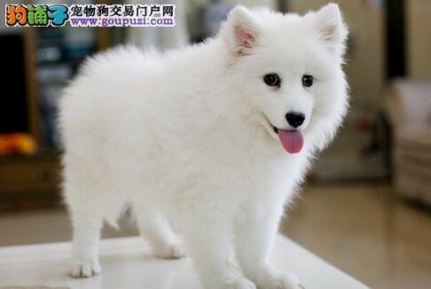银狐犬患上皮肤病很痒,应怎么办