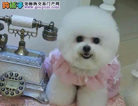 赛级比熊犬疫苗驱虫均已做完棉花糖白色粉扑江门市出售