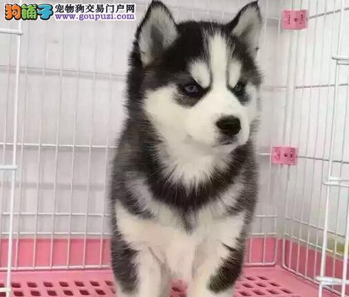 专业正规犬舍热卖优秀的哈士奇赠送全套宠物用品1