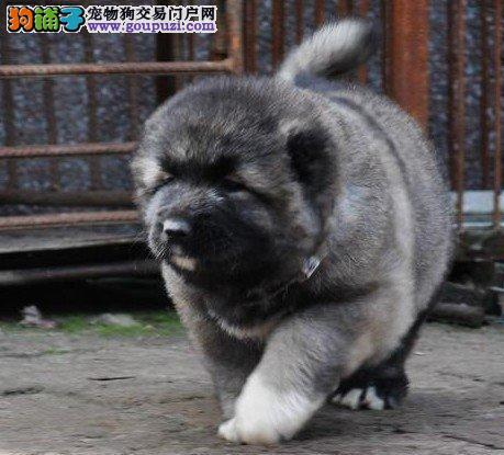 京师犬舍原生态凶悍,纯种俄系,大骨架熊版高加索幼犬
