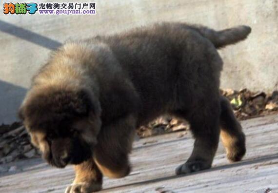 出售狼青色巨型熊版珠海高加索犬 接受电话预定