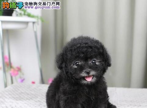 高品质贵宾犬带血统出售中终身质保质量三包 可签协议