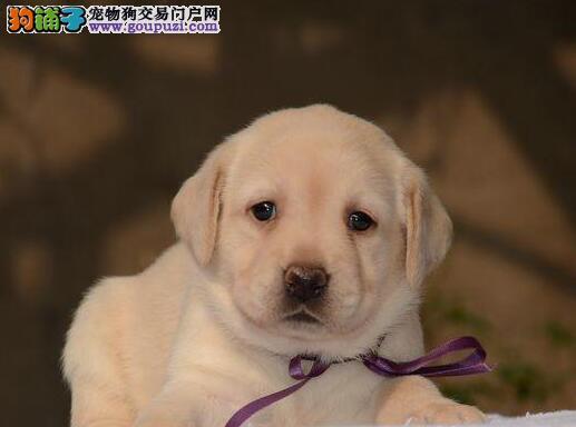 低价出售大骨架拉布拉多犬 优秀品质珠海地区最低价