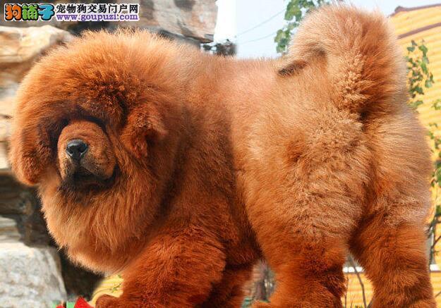 武汉出售狮头铁包金藏獒幼犬 吊嘴吊眼