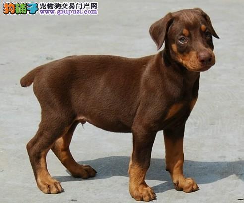 赛级品相南昌杜宾犬幼犬低价出售国际血统认证3
