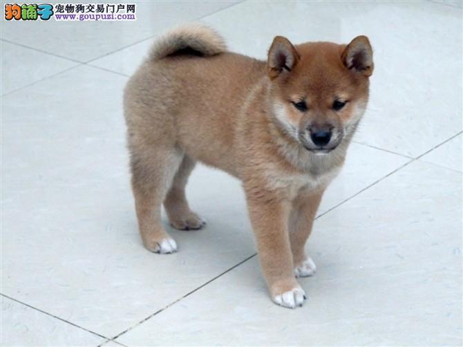 顶级血统日本柴犬新余狗场直销 可当场检验多重保障