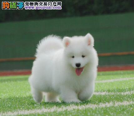 极品纯正的萨摩耶幼犬热销中最优秀的售后