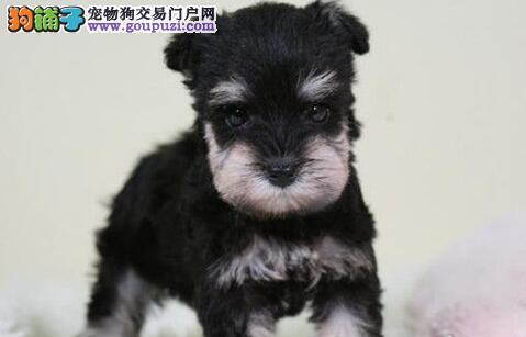 广州市纯种雪纳瑞犬 老头狗小雪 出售 包品质健康