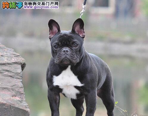 法国斗牛犬郑州最大的正规犬舍完美售后狗贩子请勿扰