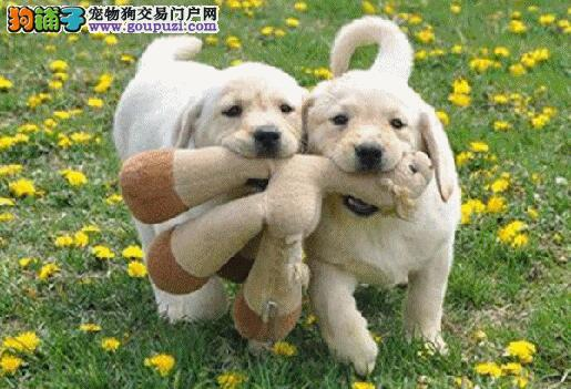 出售纯种的聪明的拉布拉多幼犬 品相好 头版好 包健康
