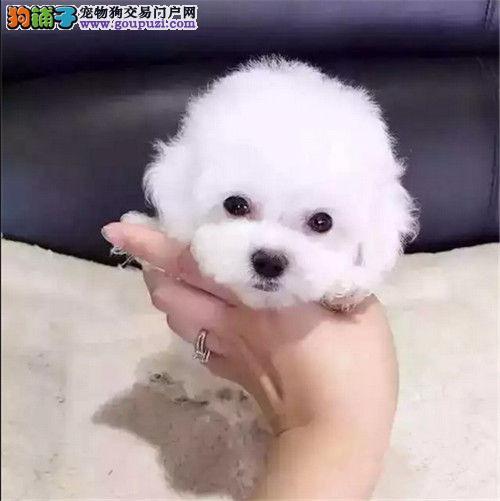 犬舍直销品种纯正健康天津泰迪犬终身质保终身护养指导2