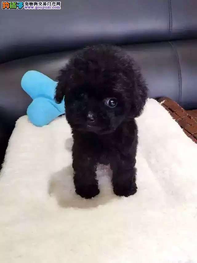 犬舍直销品种纯正健康天津泰迪犬终身质保终身护养指导3