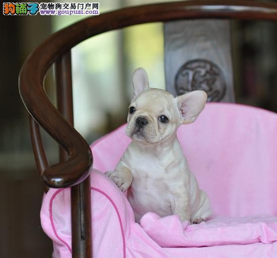 郑州家养的纯种法国斗牛犬幼犬宝宝出售 包健康纯种