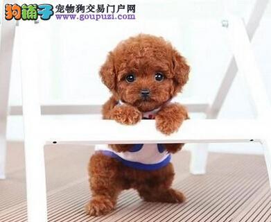 纯种茶杯犬 血统纯品质高包健康可签协议 上门优惠!2