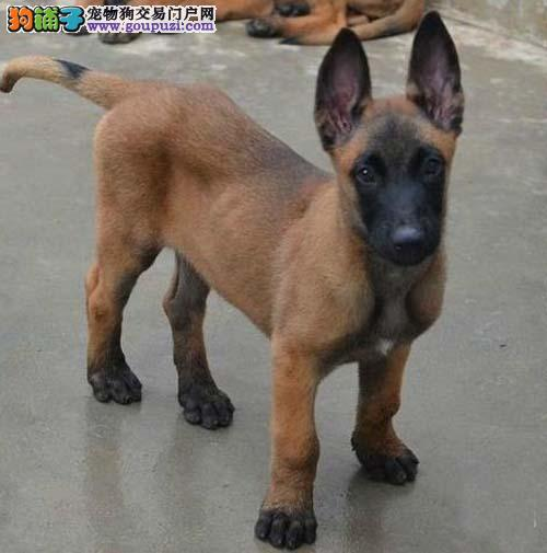 雅安专业养殖出售比利时马犬 精品马犬幼犬