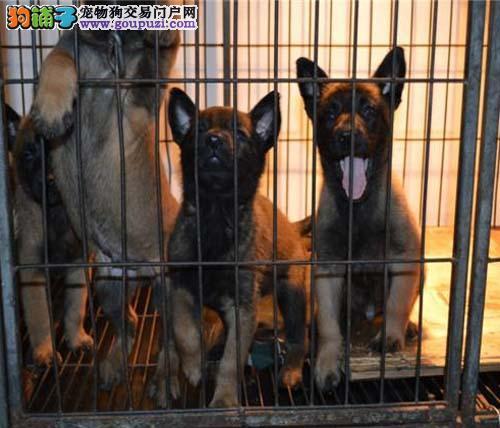 火爆出售血统纯正的济南马犬签订三包合同
