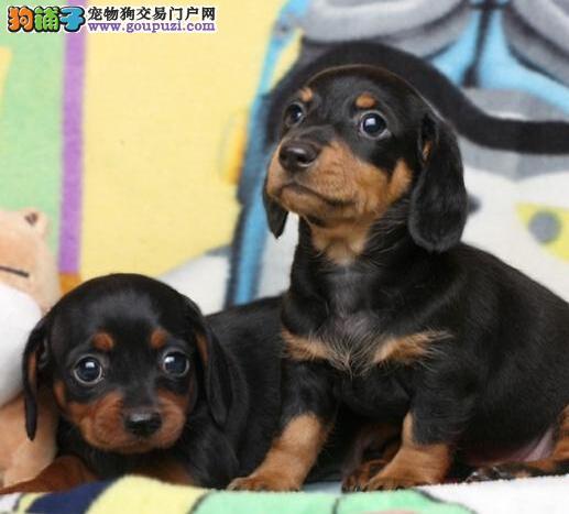 浦东新出售优质腊肠犬 疫苗齐全驱虫已完 欢迎咨询