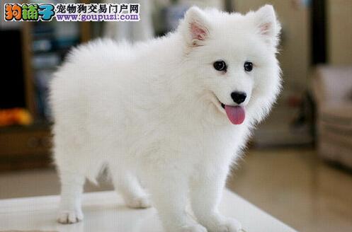出售多只优秀的银狐犬贵阳可上门冠军级血统品质保障