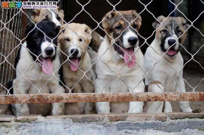 哈尔滨实体店低价促销赛级中亚牧羊犬幼犬签署质保合同