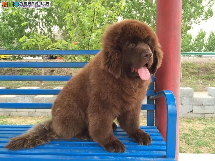 郑州家养赛级纽芬兰犬宝宝品质纯正金牌店铺有保障