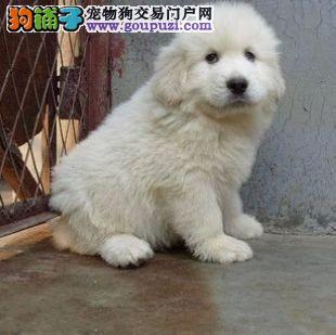 公母均有的郑州大白熊找爸爸妈妈签订终身纯种健康协议