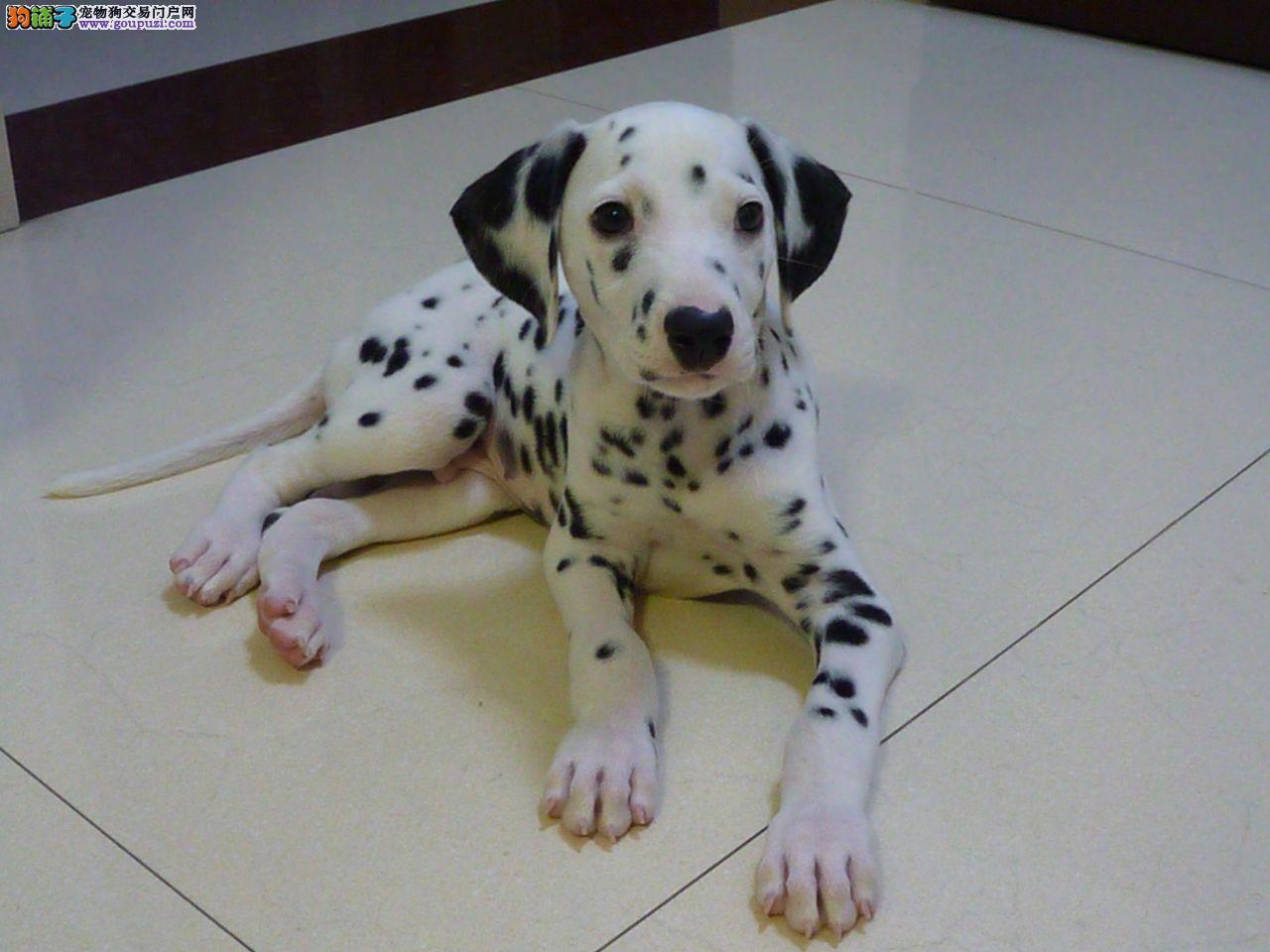 出售纯种斑点狗幼犬多只可选可视频3