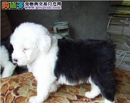 正规犬舍高品质古代牧羊犬带证书微信咨询看狗