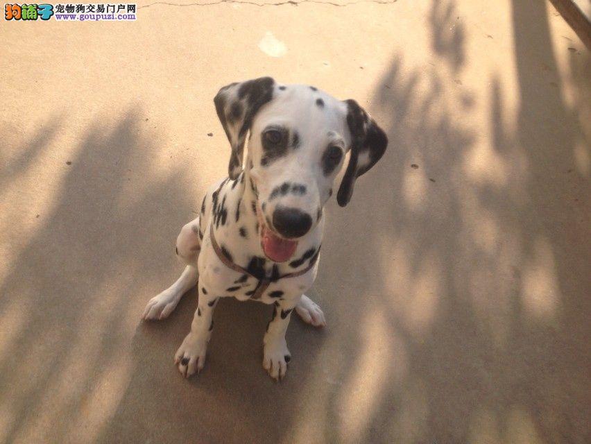 黑白闪烁斑点狗出售动作灵敏大麦町犬聪明好动多只可选