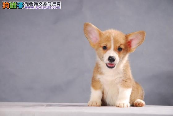 高智商柯基犬聪明伶俐 郑州大型繁育中心出售