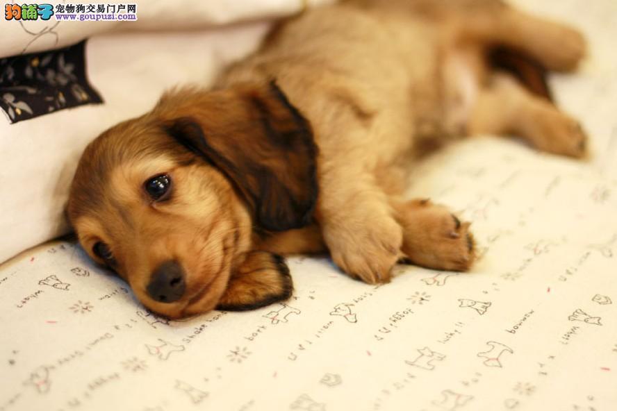 精品纯种重庆腊肠犬出售质量三包终身售后保障