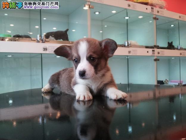 台州犬舍直销精品柯基犬签协议包养活三个月可退换