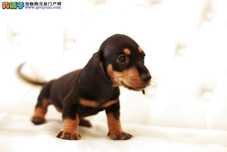 沈阳知名犬舍出售多只赛级腊肠犬包养活包退换1