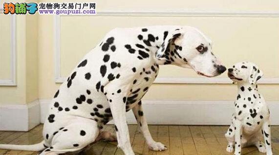 专业繁殖 宠物级斑点犬 赛级斑点犬 支持送货上门
