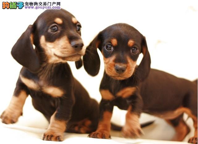 纯种腊肠犬宝宝南昌地区找主人签署质保合同1