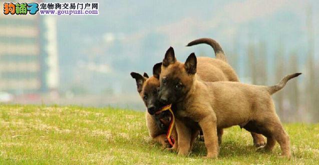 哈尔滨专业的马犬犬舍终身保健康欢迎您的指导