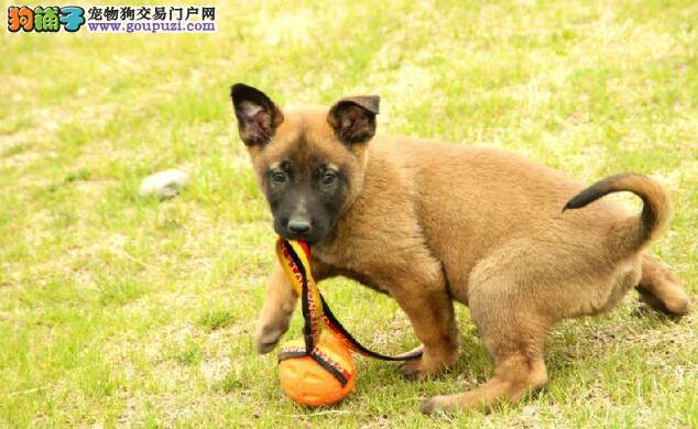 南京正规犬舍高品质马犬带证书可签合同刷卡