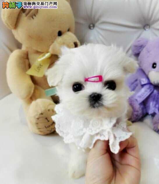 德阳市出售马尔济斯犬 纯种健康 售后保障 可上门选购