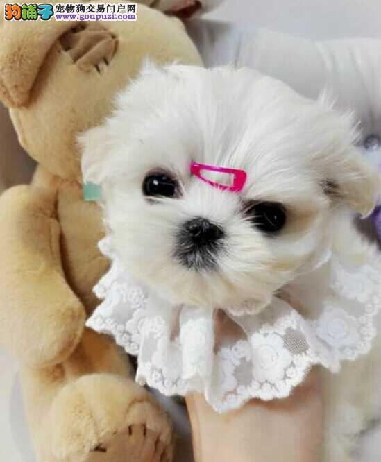 重庆实体店低价促销赛级马尔济斯幼犬购犬可签协议1