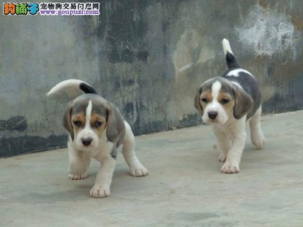 杭州极品纯种比格幼犬出售 签协议保障健康终身售后