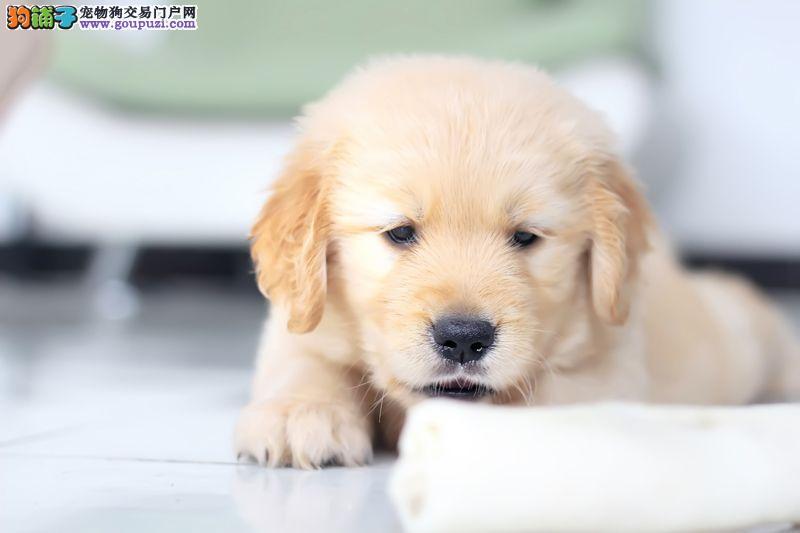 青岛名犬繁殖基地出售金毛犬 特价优惠请放心选购