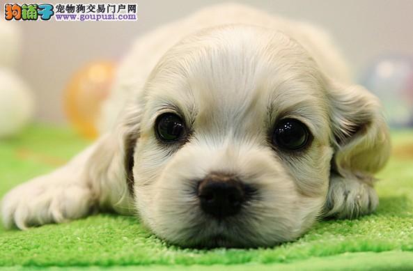 纯种英国可卡犬 可卡幼犬 品质担保 可卡狗狗 纯种健康