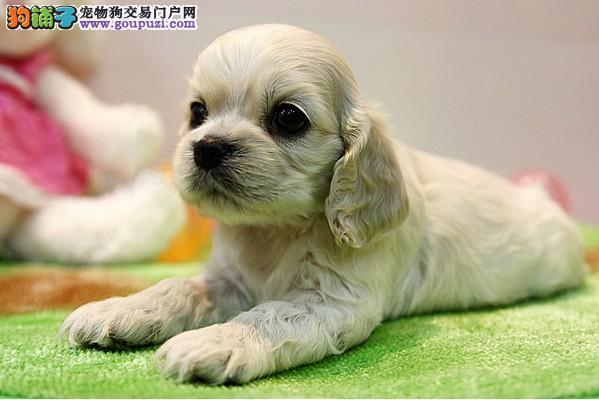 北京注册犬业专业品质缔造优质可卡幼犬签质保公母齐全图片