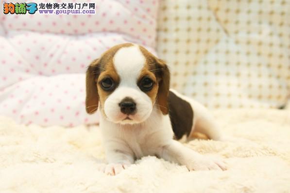 纯种比格犬 宠物狗 米格鲁犬 比格价格 比格图片4