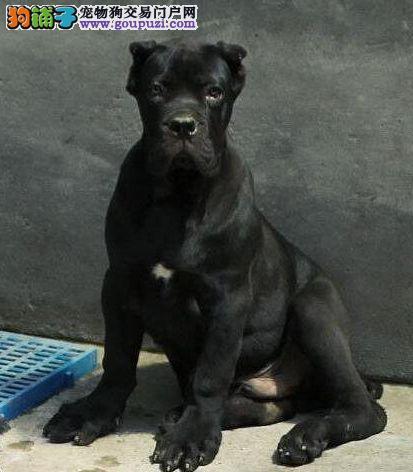 福州家养赛级卡斯罗犬宝宝品质纯正终身售后送货