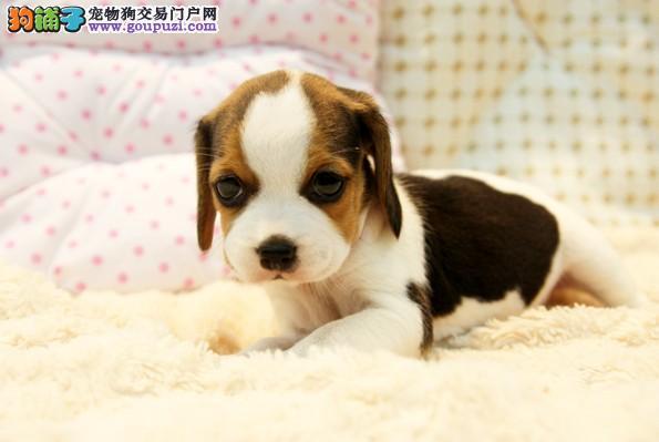 成都哪里有卖纯种比格幼犬 成都哪里可以买到好的比格
