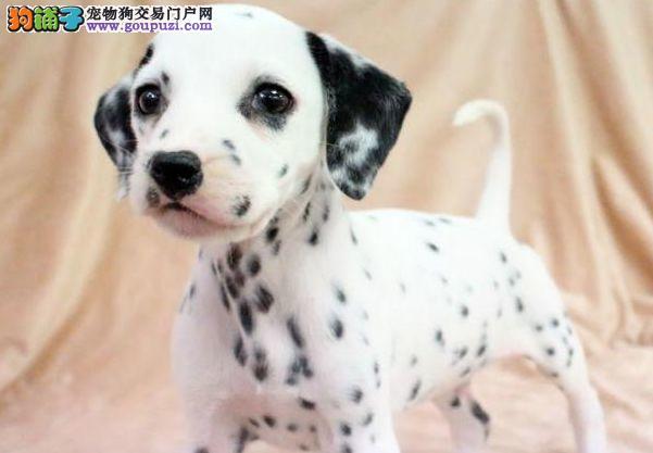 热销多只优秀的纯种太原斑点狗可签订活体销售协议