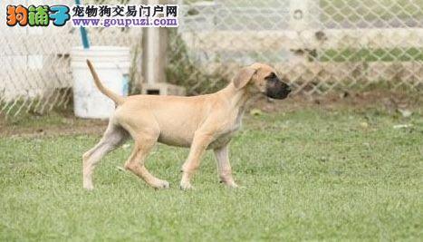 长沙实体店出售精品大丹犬保健康价格美丽非诚勿扰