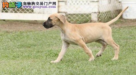 出售大丹犬幼犬,真实照片保纯保质,三包终生协议